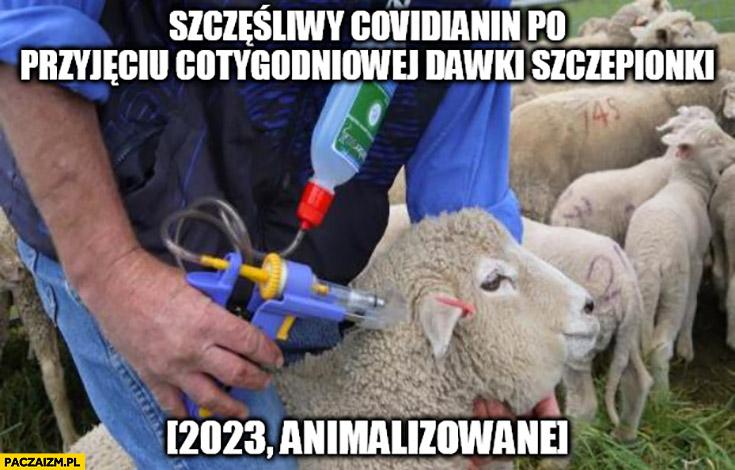 Owca szczęśliwy covidianin po przyjęciu cotygodniowej dawki szczepionki 2023 animalizowane owieczka owce