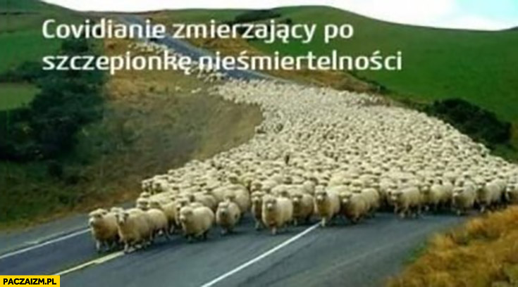 Owce owieczki Covidianie zmierzający po szczepionkę nieśmiertelności stado owiec