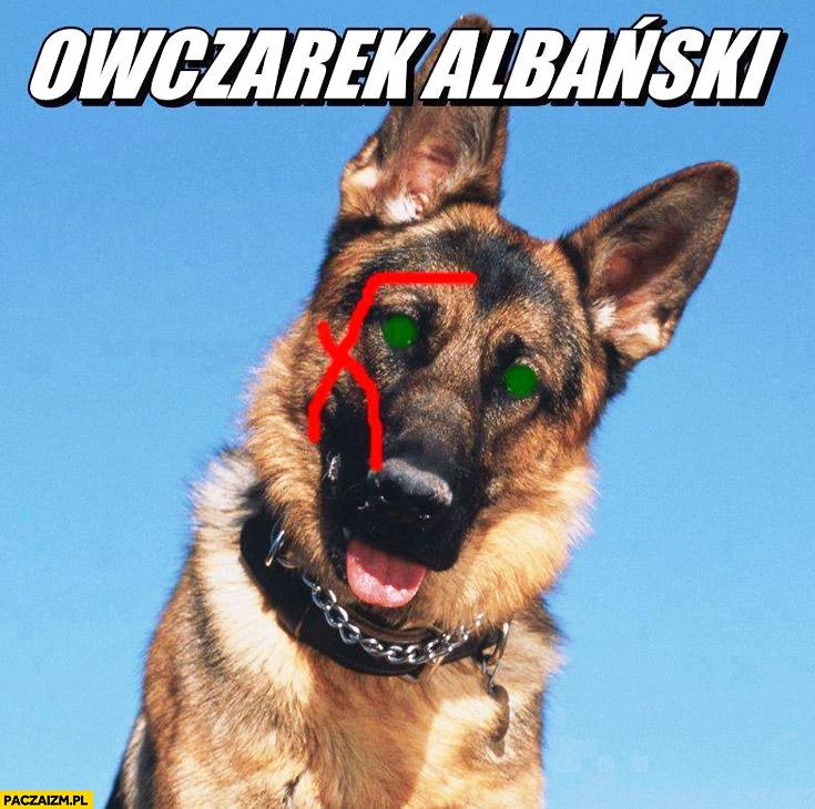 Owczarek Albański Niemiecki pies skaryfikacja