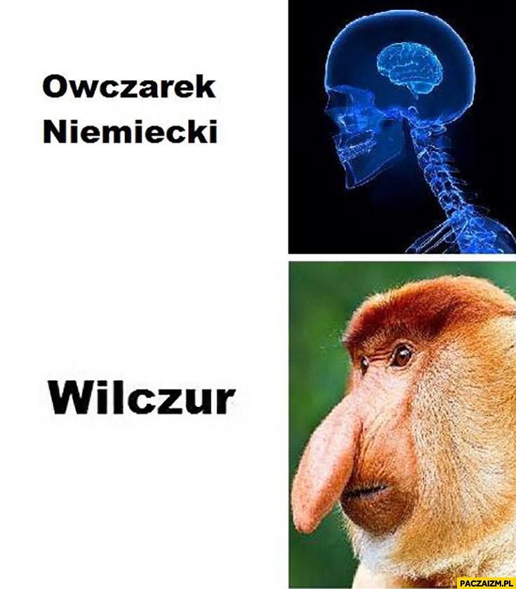 Owczarek niemiecki wilczur typowy Polak nosacz