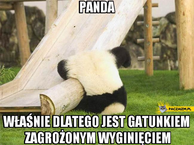 Panda zagrożona wyginięciem