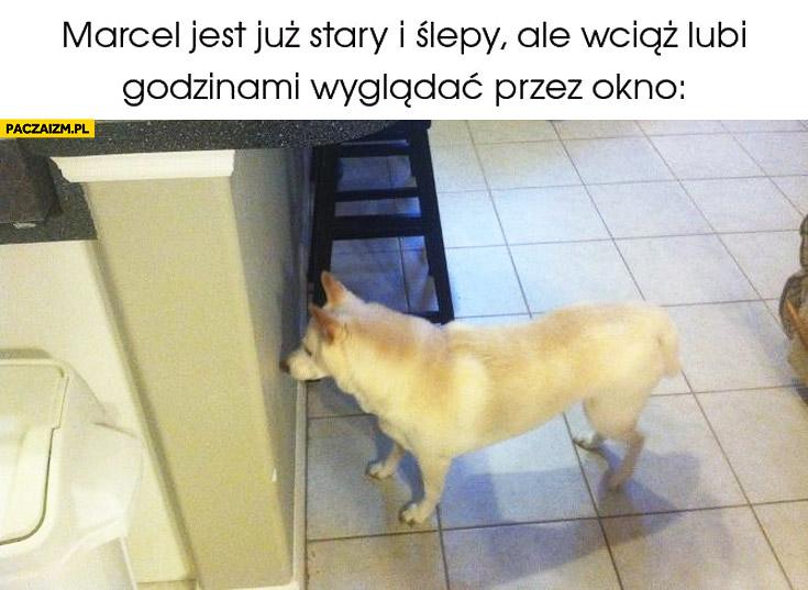 Pies Marcel jest już stary i ślepy ale wciąż lubi godzinami wyglądać przez okno