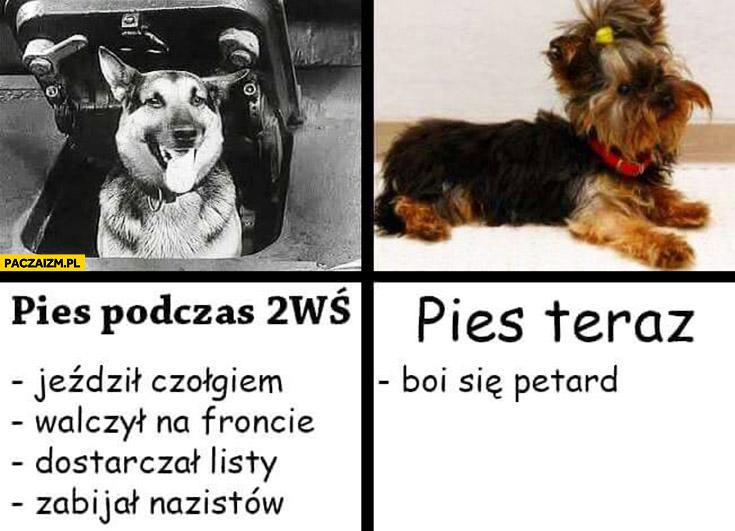 Pies podczas drugiej wojny światowej II WŚ: jeździl czołgiem, walczył na froncie, dostarczał listy, zabijał nazistów. Pies dziś teraz: boi się petard