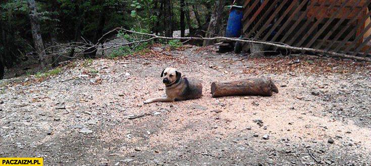 Pies przecięty w pół kłoda drewna dziwne zdjęcie