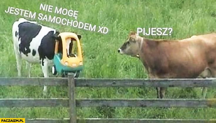 Pijesz? Nie mogę jestem samochodem krowa z samochodem wózkiem na głowie