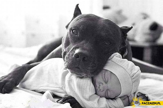 Pitbull niemowlę