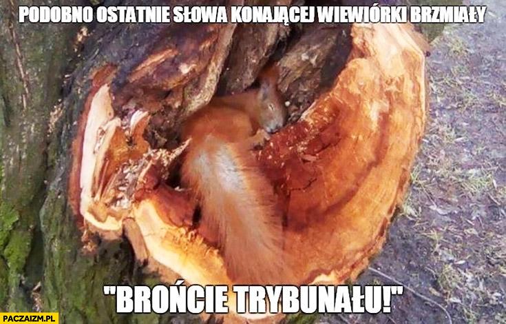 """Podobno ostatnie słowa konającej wiewiórki brzmiały """"brońcie trybunału"""" wycinka drzew"""