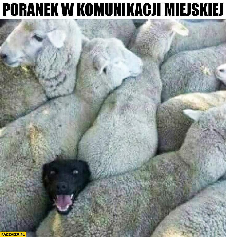 Poranek w komunikacji miejskiej pies ściśnięty z owcami