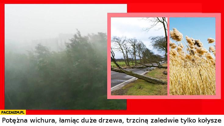 Potężna wichura łamiąc duże drzewa trzciną zaledwie tylko kołysze. Potężny gej Stachursky