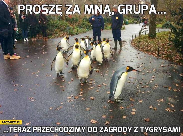 Proszę za mną grupa teraz przechodzimy do zagrody z tygrysami pingwiny zwiedzają zoo