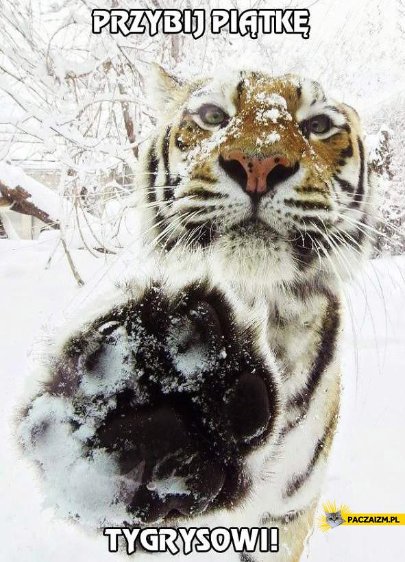 Przybij piątkę tygrysowi