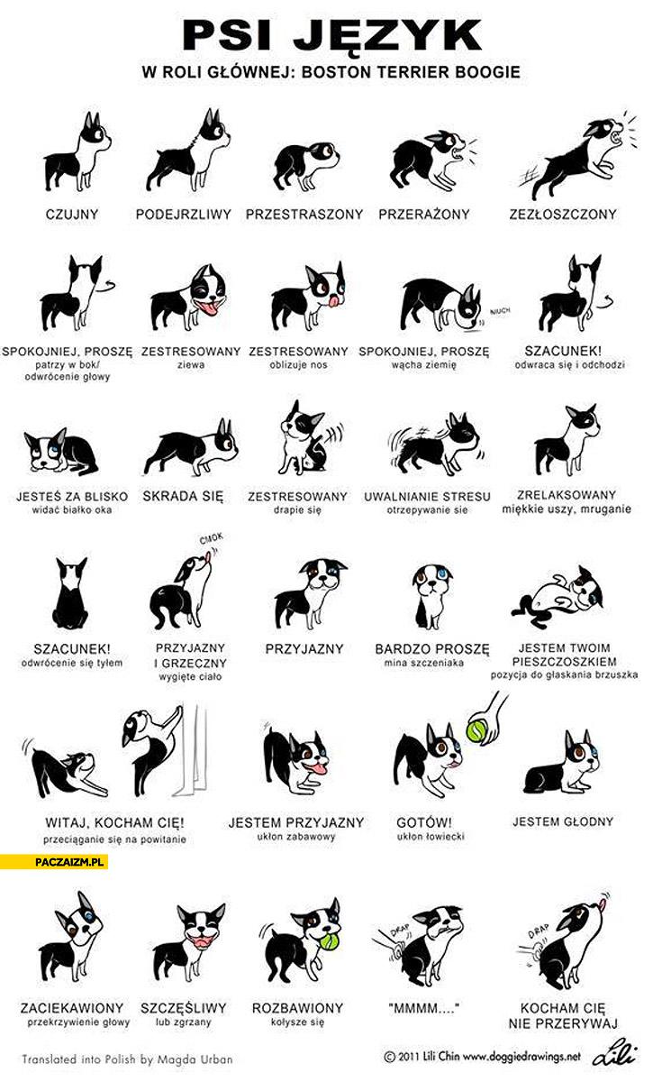 Psi język w roli głównej Boston Terrier Boogie