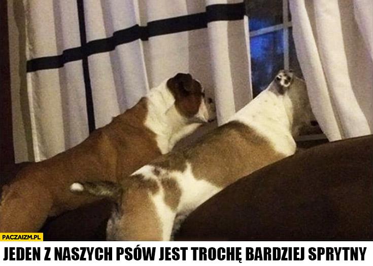 Psy patrzą przez okno przez firankę jeden z naszych psów jest trochę bardziej sprytny