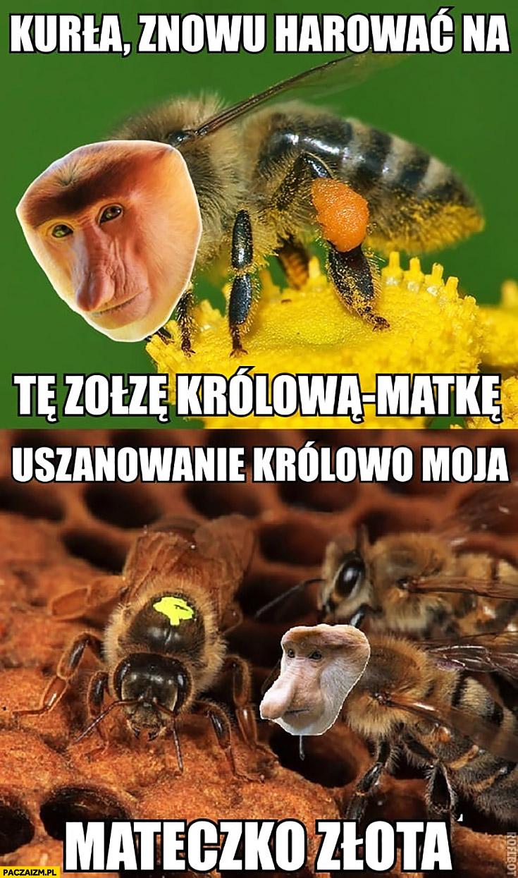 Pszczoła kurła znowu harować na tę zołzę królową matkę. Uszanowanko królowo moja mateczko złota typowy Polak nosacz małpa