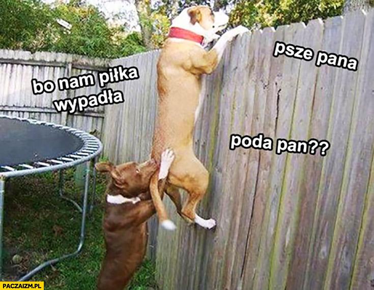 Psze pana piłka nam wpadła poda pan psy zaglądają przez płot