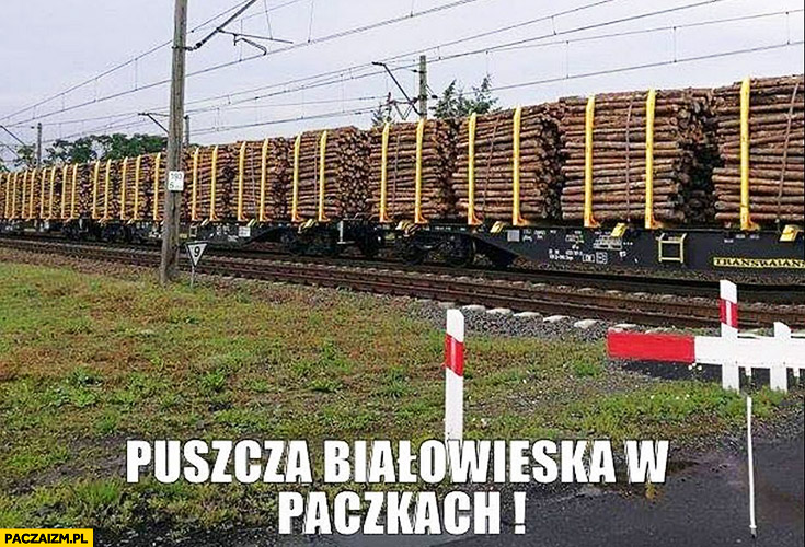 Puszcza Białowieska w paczkach ścięte drzewa wycinka puszczy Szyszko