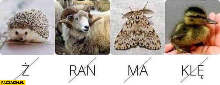 Rebus zagadka zwierzątka jebać PiS