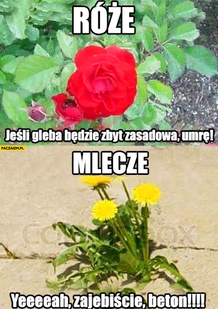 Róże: jeśli gleba będzie zbyt zasadowa umrę, Mlecze: yeah, beton