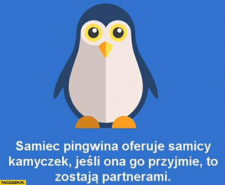 Samiec pingwina oferuje samicy kamyczek, jeśli ona go przyjmie to zostają partnerami