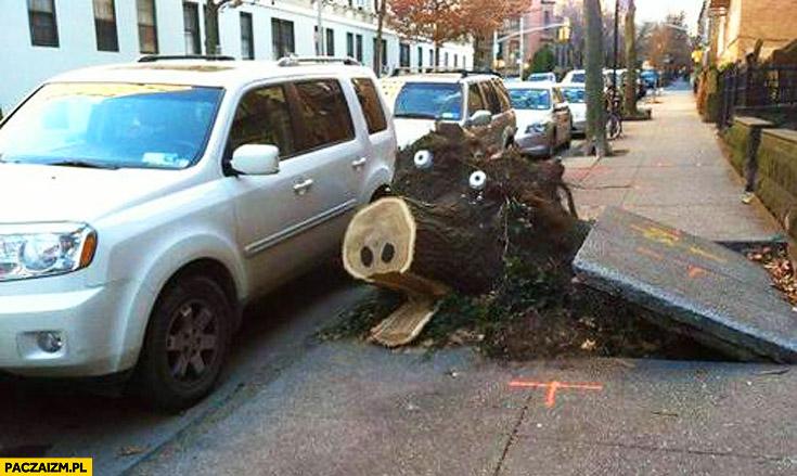 Ścięte drzewo świniak