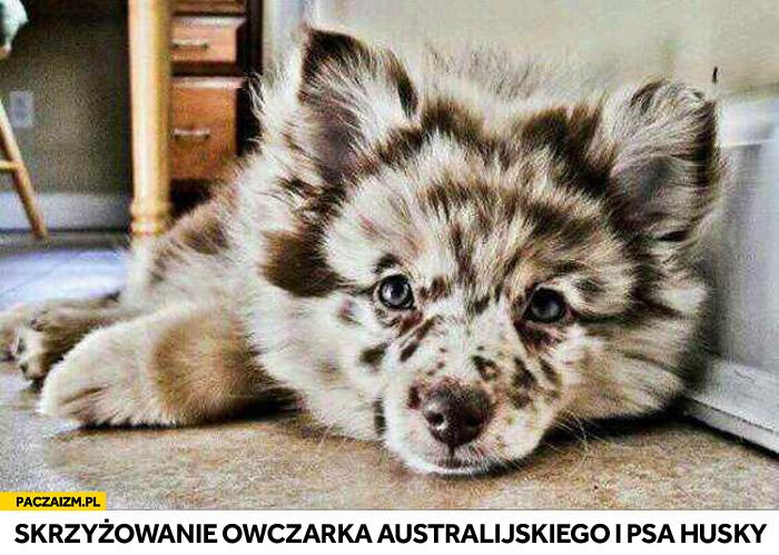 Skrzyżowanie owczarka australijskiego i husky