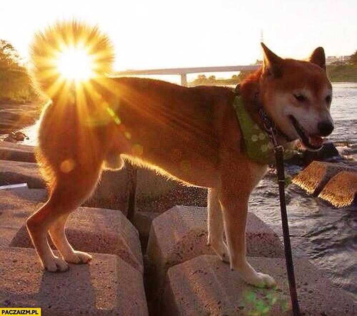 Słoneczny ogon pies