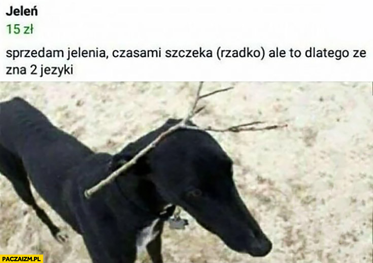 Sprzedam jelenia pies czasami szczeka rzadko ale to dlatego, że zna 2 języki