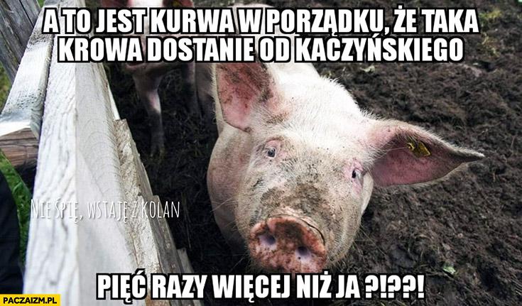 Świnia a to jest kurna w porządku, że taka krowa dostanie od Kaczyńskiego pięć razy więcej niż ja?