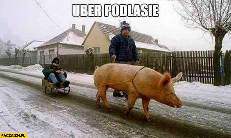 Uber Podlasie świnia ciągnie na sankach