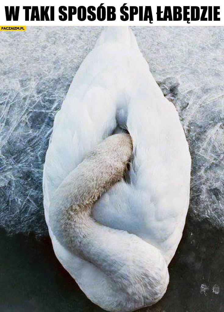 W taki sposób śpią łabędzie jak wygląda śpiący łabędź
