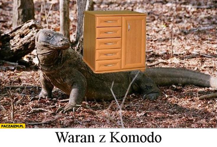 Waran z Komodo ma komodę na sobie