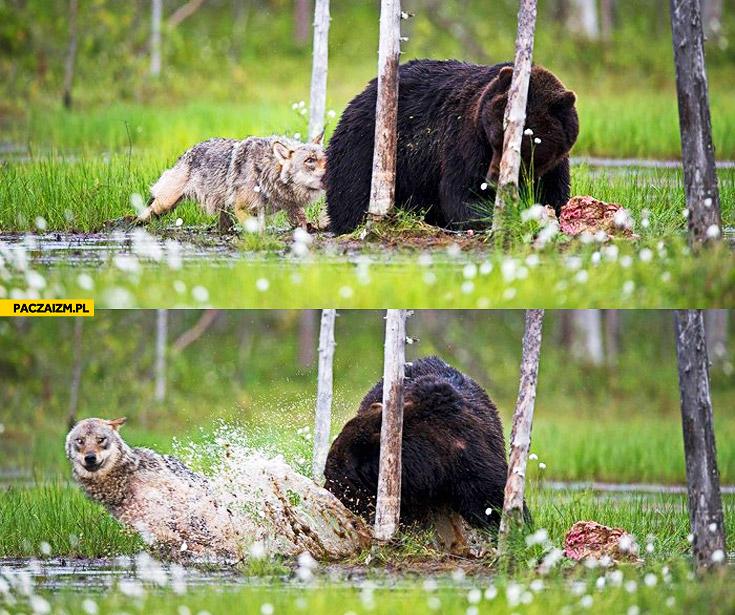 Wilk drażni niedźwiedzia