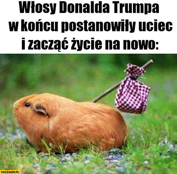 Włosy Donalda Trumpa w końcu postanowiły uciec i zacząć życie na nowo chomik świnka morska