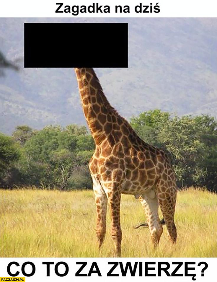Zagadka na dziś: co to za zwierze? żyrafa