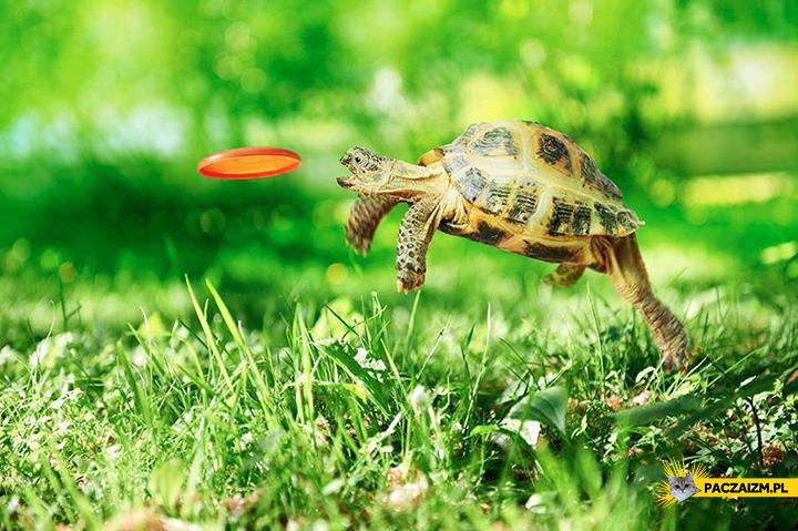 Żółw aportuje frisbee
