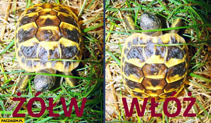 Żółw włóż